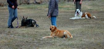 Tres perros lindos que ponen en la tierra, aprendiendo en perro-escuela imágenes de archivo libres de regalías