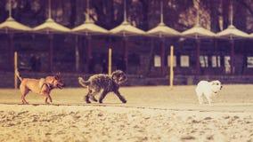 Tres perros mestizos que caminan junto en la playa Imágenes de archivo libres de regalías