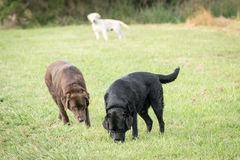 Tres perros perdigueros de Labrador imágenes de archivo libres de regalías