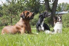 Tres perros (perro Hort, Papillon de Rhodesian Ridgeback) Fotografía de archivo libre de regalías