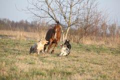 Tres perros que corren con el caballo de la castaña Fotos de archivo libres de regalías