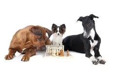 Tres perros que juegan a ajedrez Imagenes de archivo
