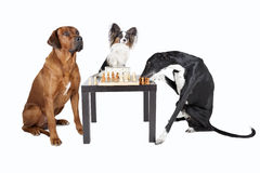 Tres perros que juegan a ajedrez Fotografía de archivo