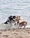 Tres perros que juegan en la playa Imágenes de archivo libres de regalías