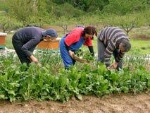 Tres personas junto en el cardo de la cosecha del campo Imagen de archivo libre de regalías