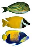 Tres pescados tropicales Fotos de archivo
