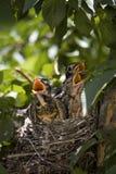 Tres petirrojos del bebé gritar en alta voz para que su madre los alimente imagen de archivo