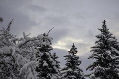 Tres piceas en el cielo del invierno imagen de archivo libre de regalías