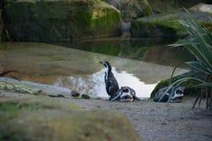 Tres pingüinos Foto de archivo libre de regalías