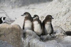 Tres pingüinos Imágenes de archivo libres de regalías