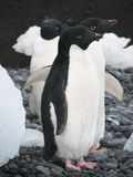 Tres pingüinos de Adelie Fotografía de archivo
