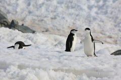 Tres pingüinos de Chinstrap en la Antártida Foto de archivo libre de regalías