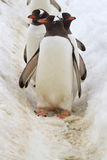 Tres pingüinos de Gentoo que se colocan en la trayectoria en la nieve que va Imagen de archivo libre de regalías