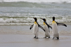 Tres pingüinos de rey Foto de archivo libre de regalías