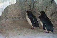 Tres pingüinos en cueva Imagen de archivo