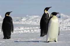Tres pingüinos en Ant3artida Fotos de archivo
