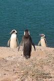 Tres pinguins Foto de archivo