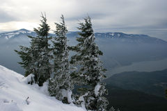 Tres pinos en la nieve Imágenes de archivo libres de regalías
