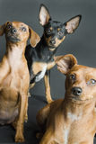 Tres Pinschers miniatura Imagen de archivo libre de regalías