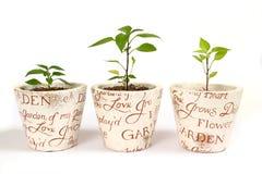 Tres plantas de los chiles Imágenes de archivo libres de regalías