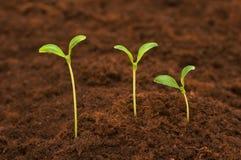 Tres plantas de semillero verdes fotografía de archivo libre de regalías