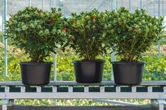Tres plantas del skimmia en una banda transportadora lista para la exportación Fotografía de archivo