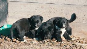 Tres pocos perritos juguetones negros divertidos con el colorante blanco interesante se sientan en la yarda almacen de video