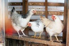 Tres pollos Foto de archivo libre de regalías
