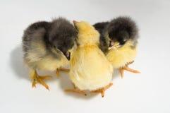 Tres pollos imágenes de archivo libres de regalías