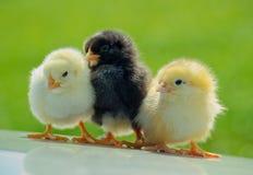 Tres pollos Foto de archivo