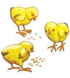 Tres pollos amarillos Imágenes de archivo libres de regalías