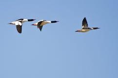 Tres pollos de agua comunes que vuelan en cielo azul fotografía de archivo libre de regalías