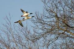 Pollos de agua comunes que vuelan sobre el pantano fotos de archivo libres de regalías