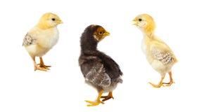 Tres pollos de pascua en blanco aislado Imagenes de archivo