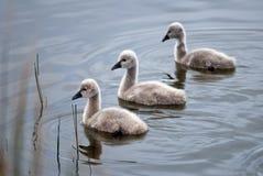 Tres pollos del cisne del cisne negro que nadan Fotografía de archivo