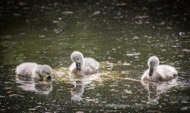 Tres pollos del cisne en el lago que comen la planta de agua imágenes de archivo libres de regalías