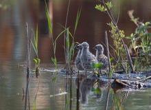 Tres polluelos Fotografía de archivo libre de regalías