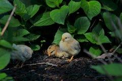 Tres polluelos del bebé que exploran fotografía de archivo libre de regalías