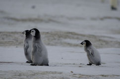 Tres polluelos del pingüino de emperador foto de archivo