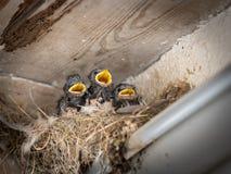 Tres polluelos del trago de granero que se sientan en una jerarquía y que esperan para ser alimentado imagen de archivo