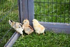 Tres polluelos que explotan de la jaula Fotos de archivo libres de regalías