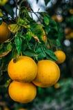 Tres pomelos en el branchlet Fotografía de archivo libre de regalías