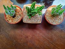 Tres potes del cactus, adornados en la tienda del coffe fotografía de archivo
