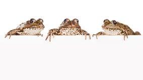 Tres ranas con el panel para el texto Fotos de archivo