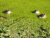 Tres ranas que ocultan en Duck Weed Fotos de archivo libres de regalías