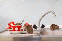 Tres ratas jovenes en la cocina Una rata se arrastra en la taza roja imagen de archivo libre de regalías