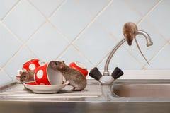 Tres ratas jovenes y tazas rojas en fregadero y encima del grifo de agua en la cocina imagen de archivo