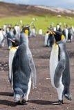 Tres rey pingüinos Imágenes de archivo libres de regalías