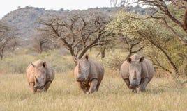 Tres rinocerontes blancos en prado Foto de archivo