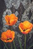Tres rojos y tulipanes anaranjados Imagenes de archivo